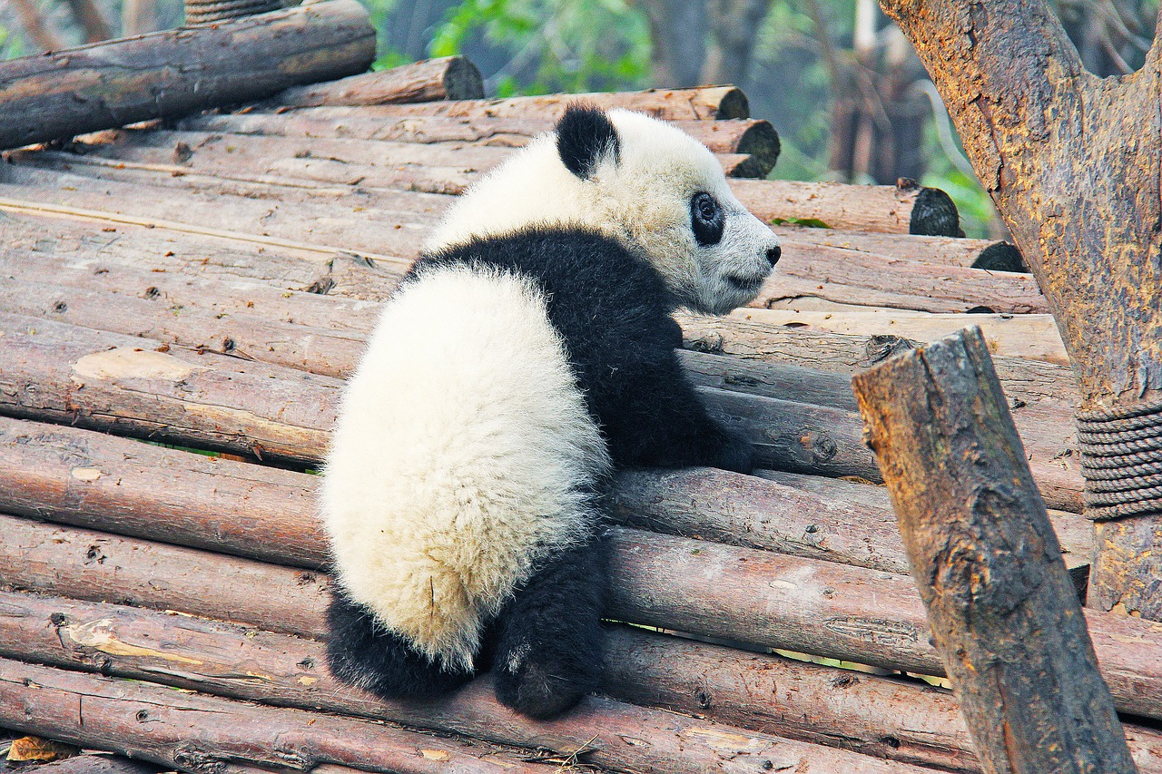 Chinese Names For Female Pandas