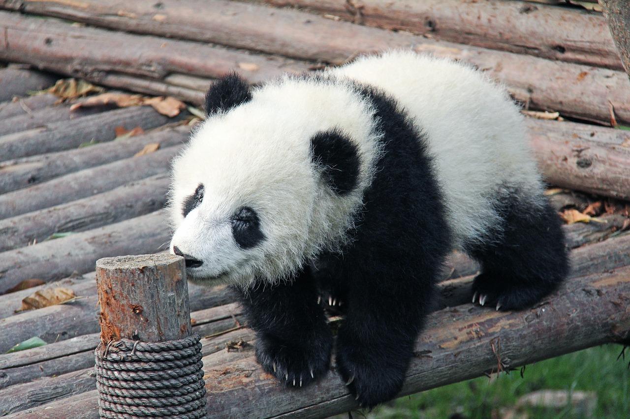 Common Panda Names