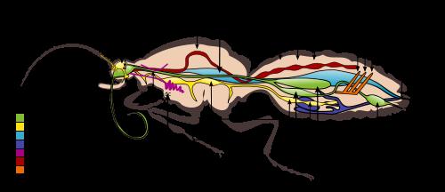 Butterfly Digestive System