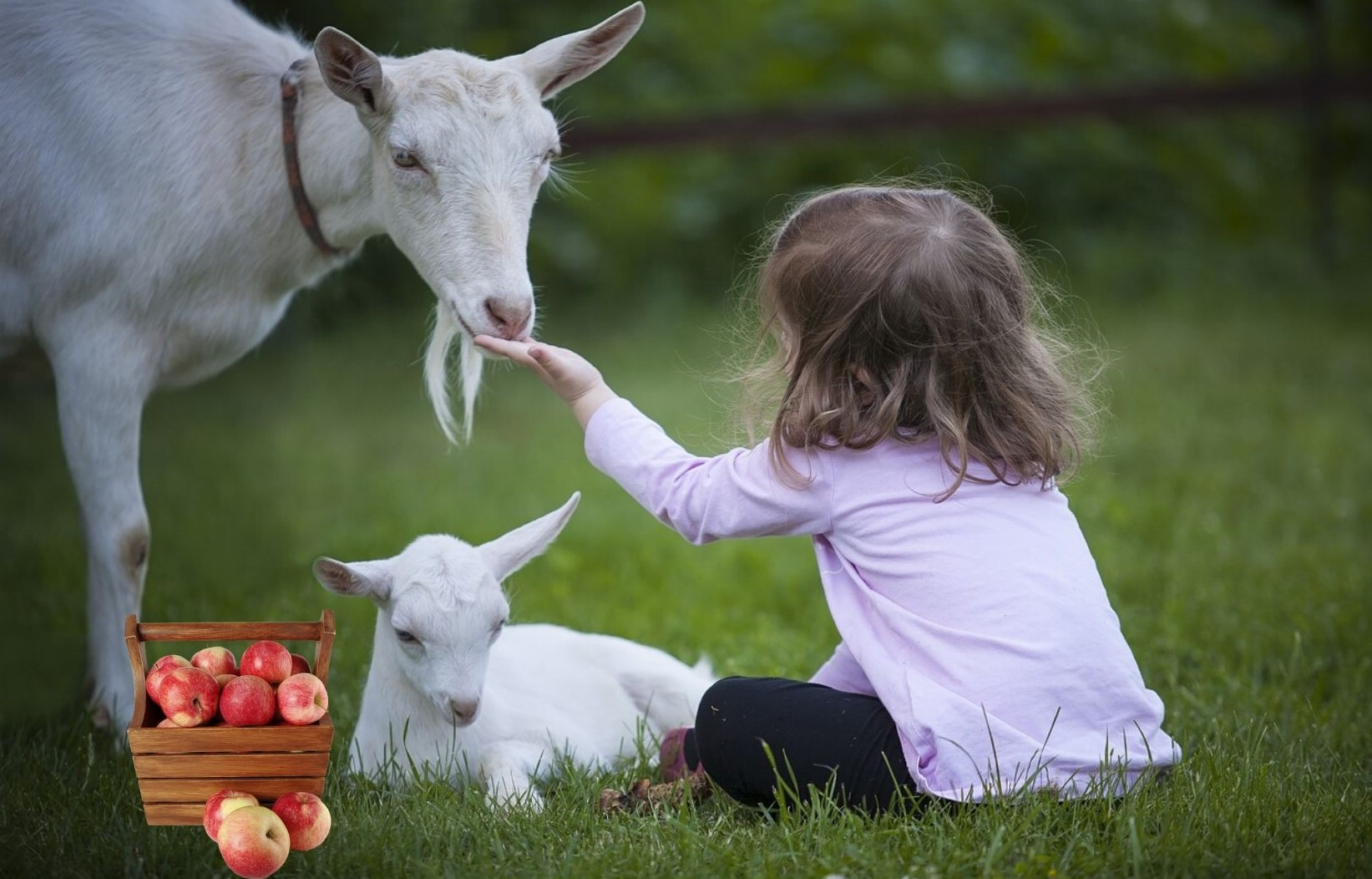 Can Goats Eat Apples