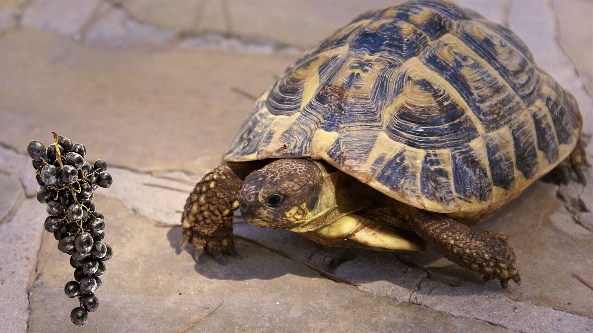 Can Tortoise Eat Grapes