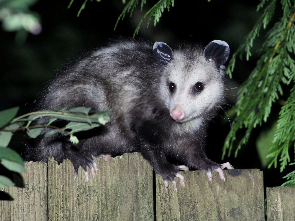 Do Possums Eat Rats