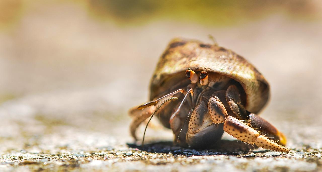Do hermit crabs bite
