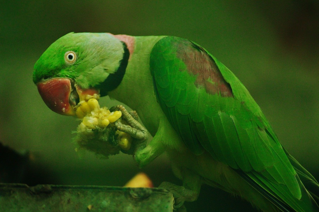 Do parrots eat grapes