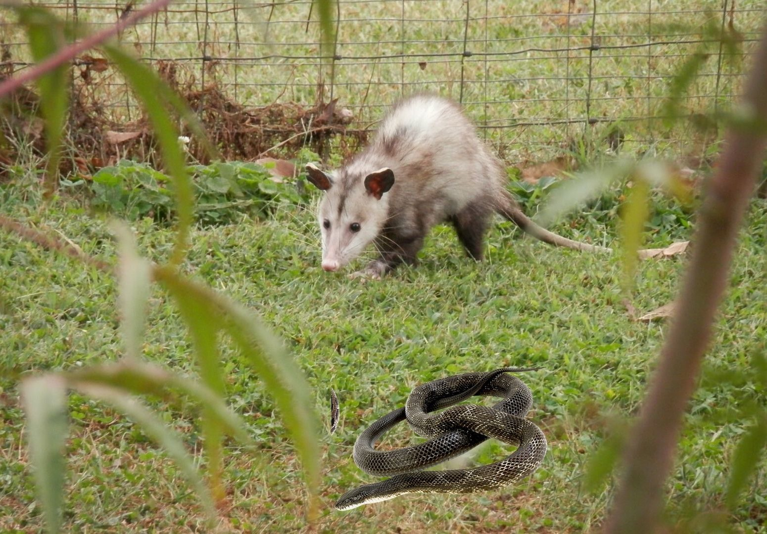 Do possums eat snakes