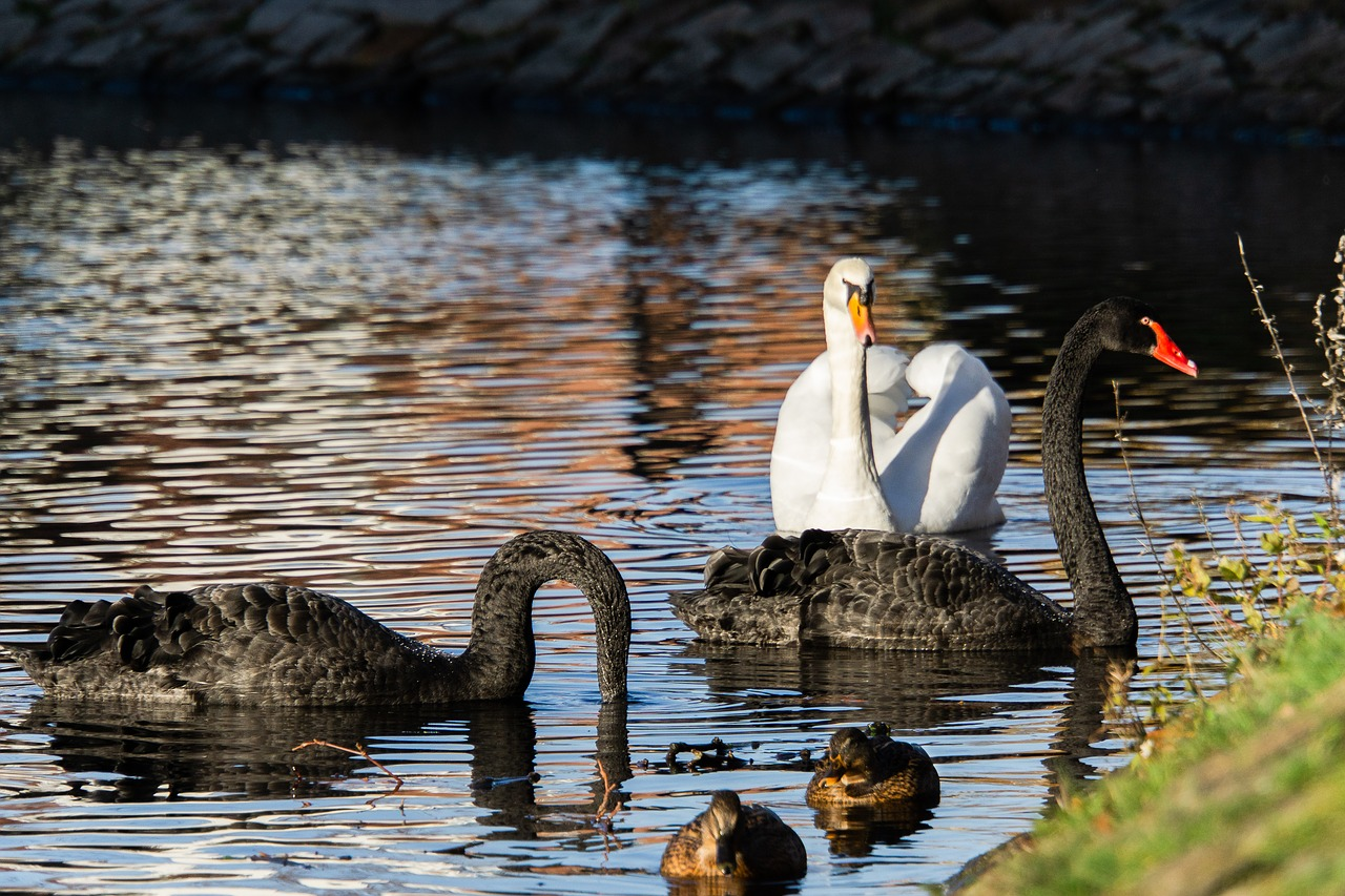 Do swans cheat their partners