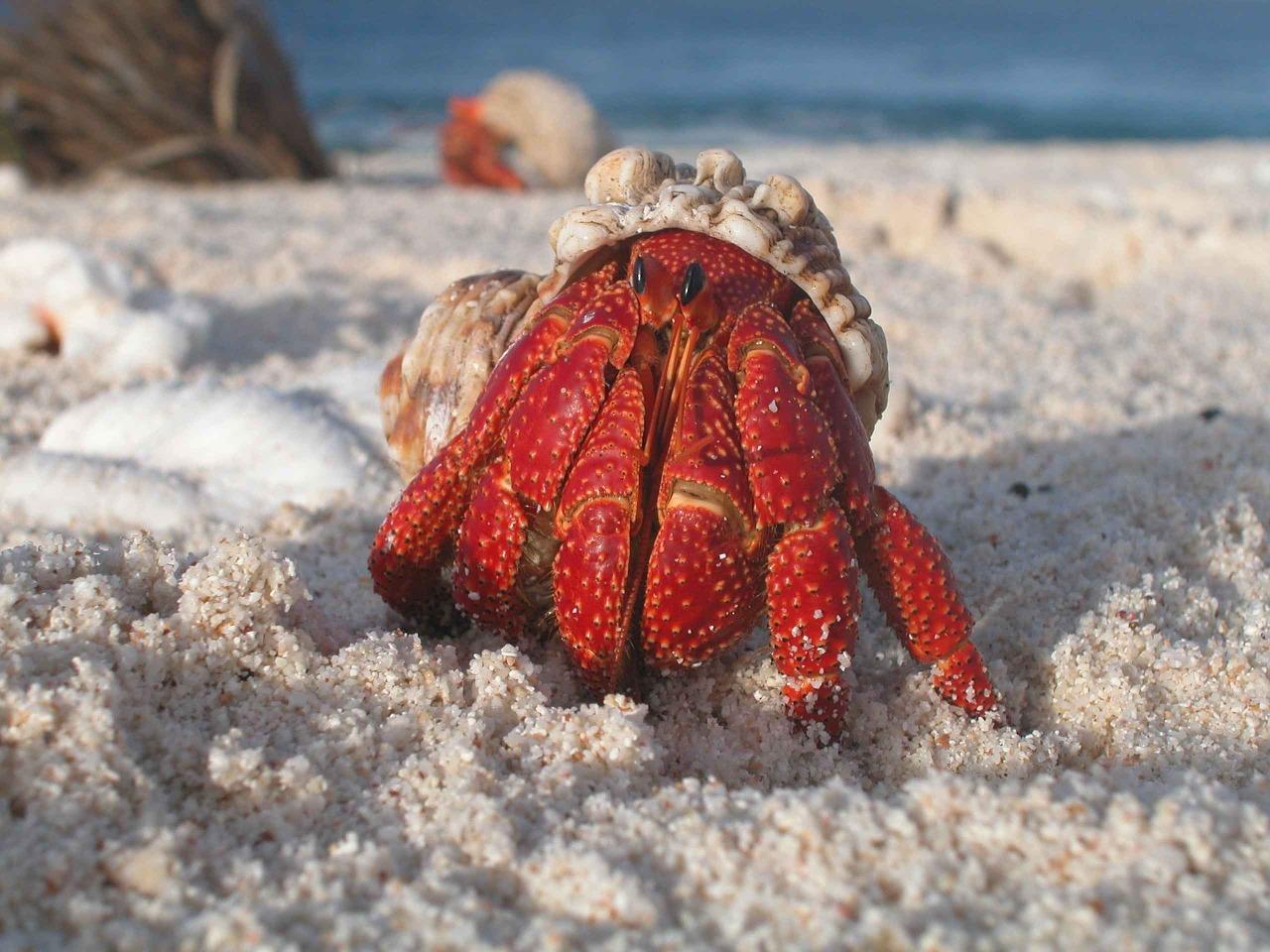 How do hermit crabs poop