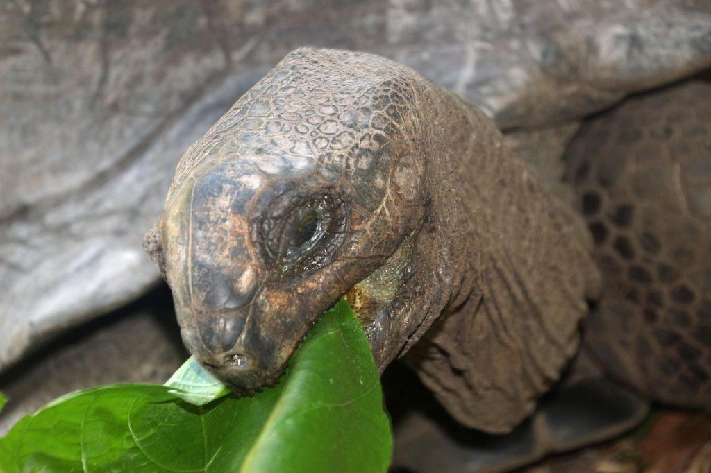 Turtle feeds on grape leaves