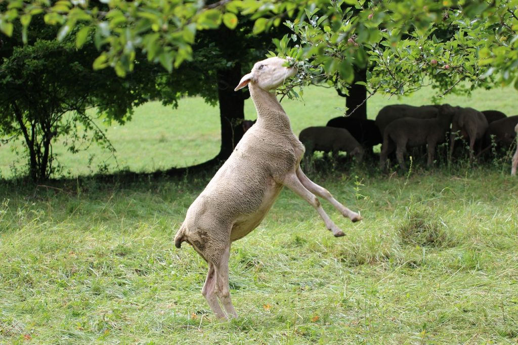 can goats eat apple leaves