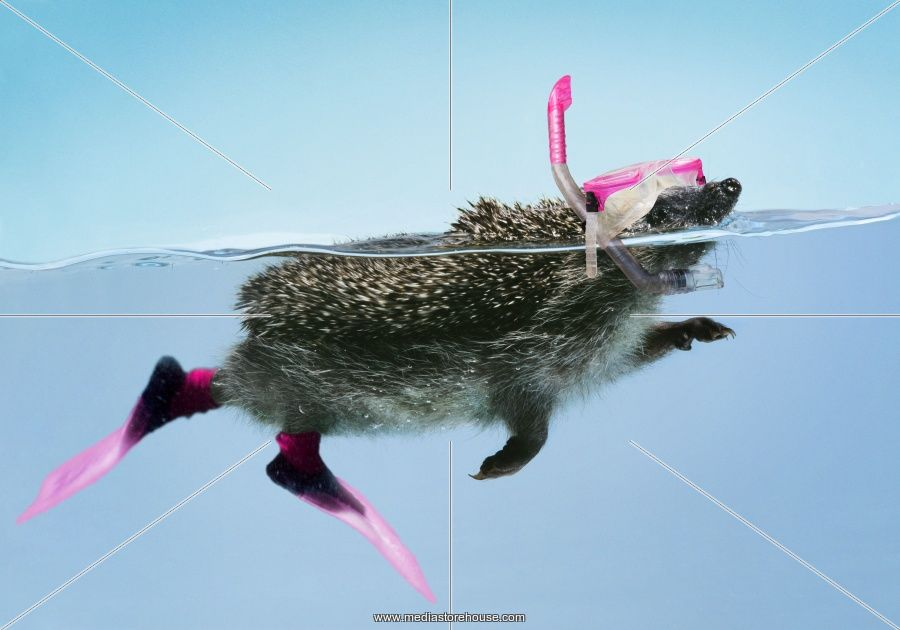 can hedgehogs swim