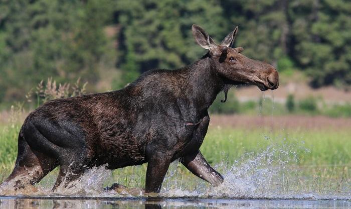 do moose swim