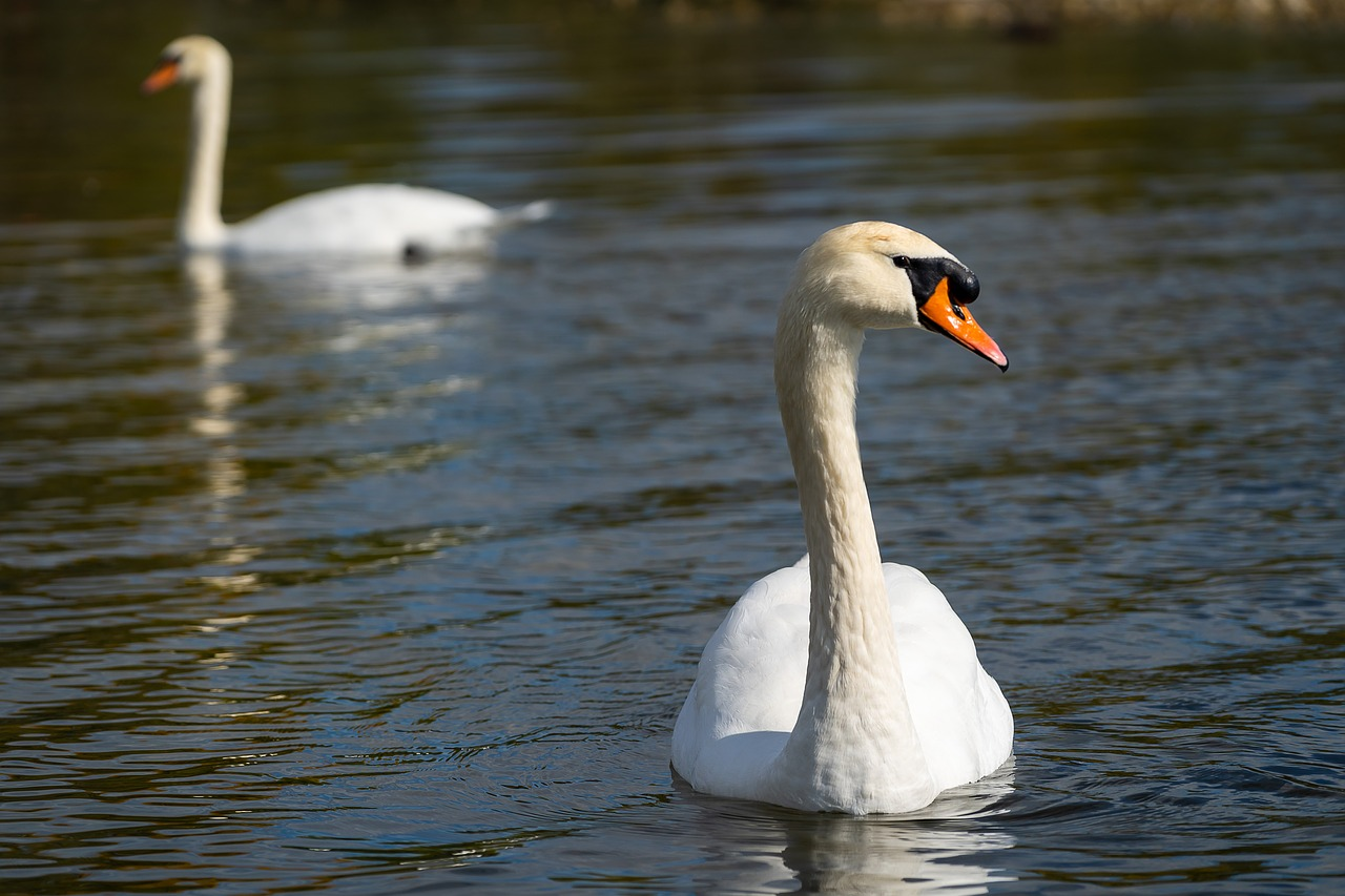do swans separate