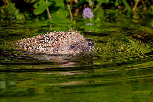 hedgehog swimming in water