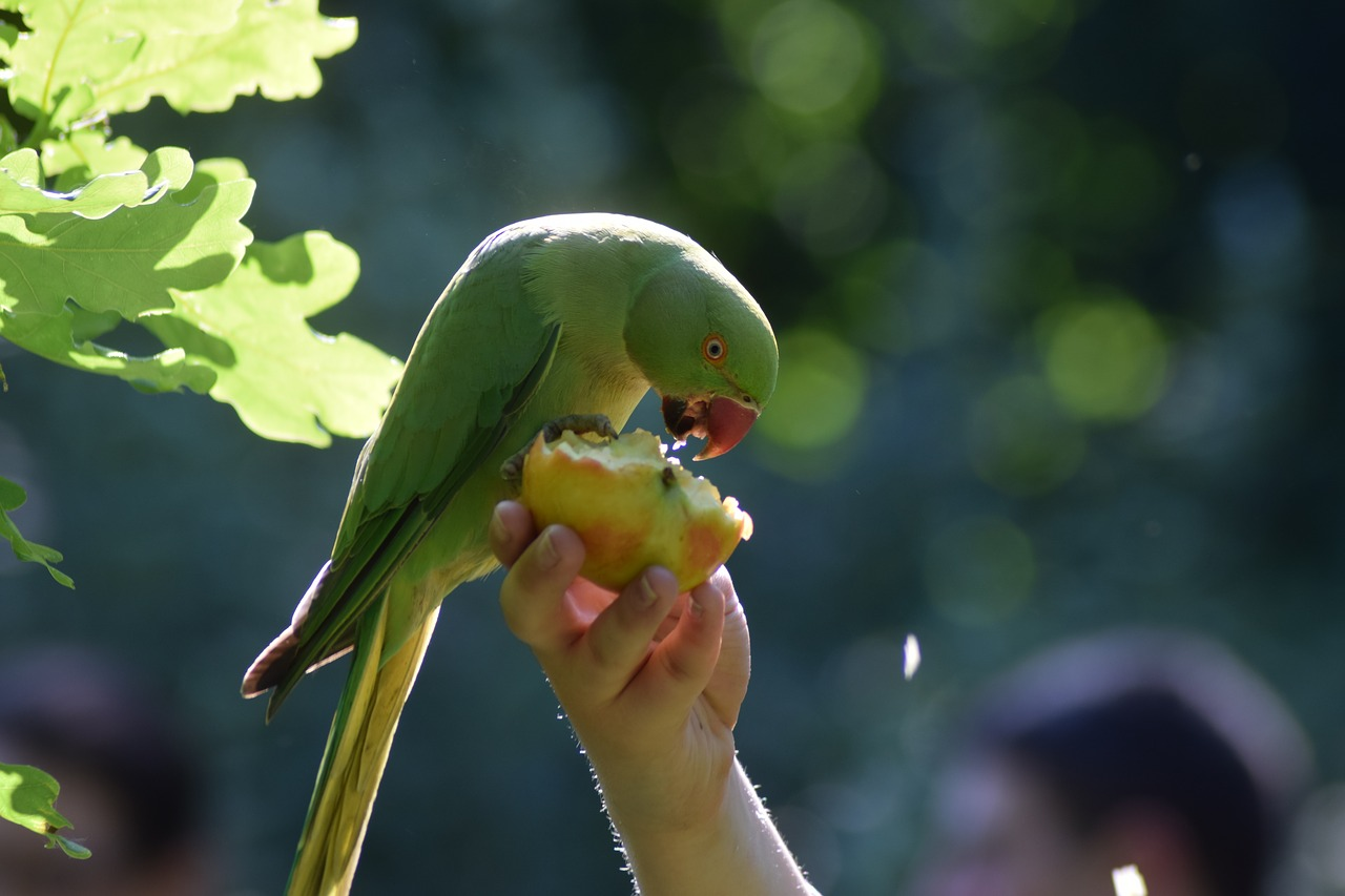 parrot eating apples