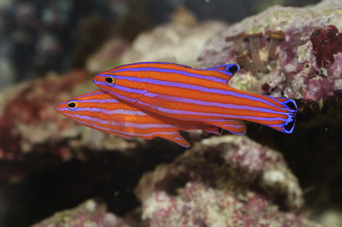Candy Basslet Exotic Fish