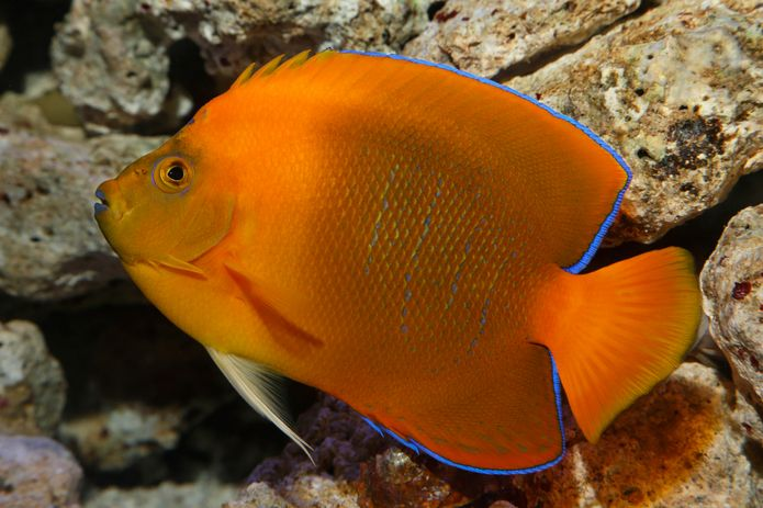 Clarion Angelfish Exotic Fish