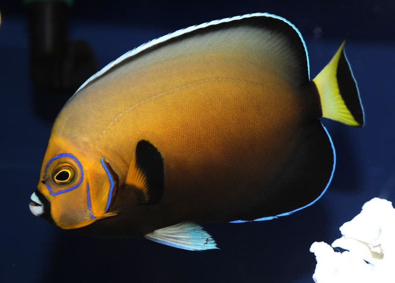 Conspicuous Angelfish Exotic Fish