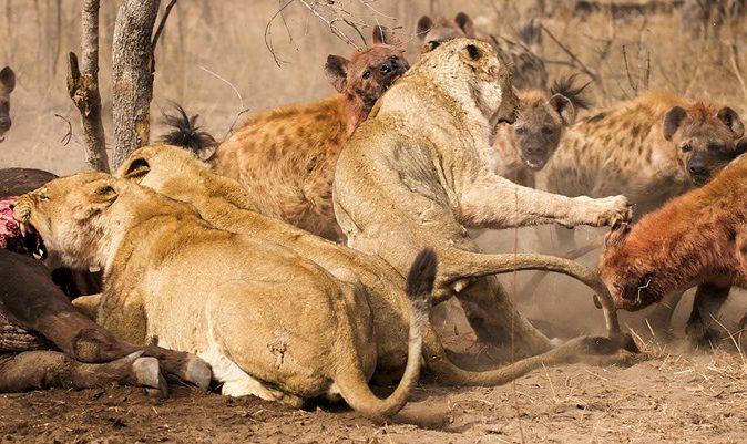 Do Lions Eat Hyenas