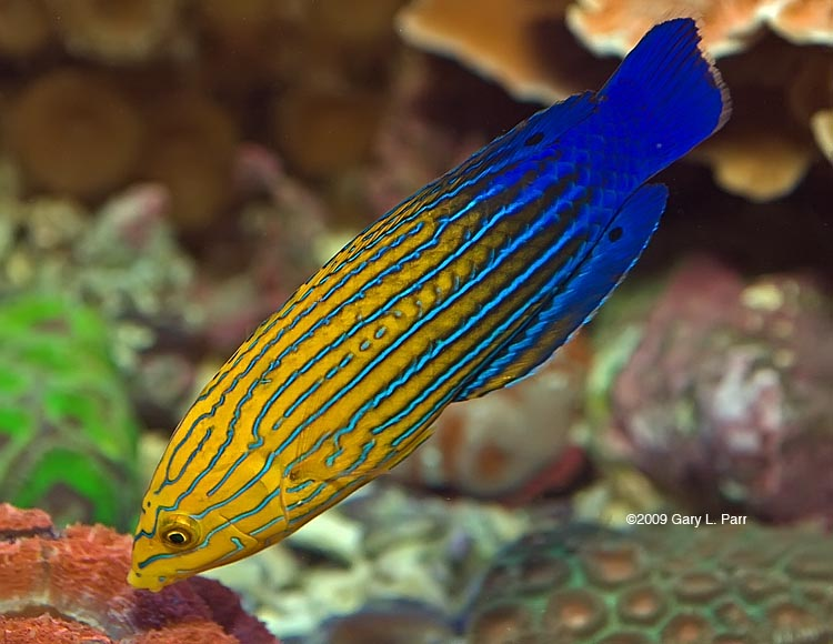 Feminine Wrasse Exotic Fish