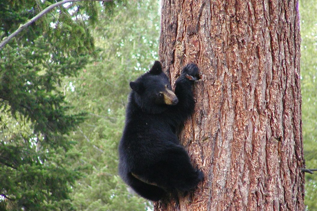 How Fast Do Black Bears Climb Trees