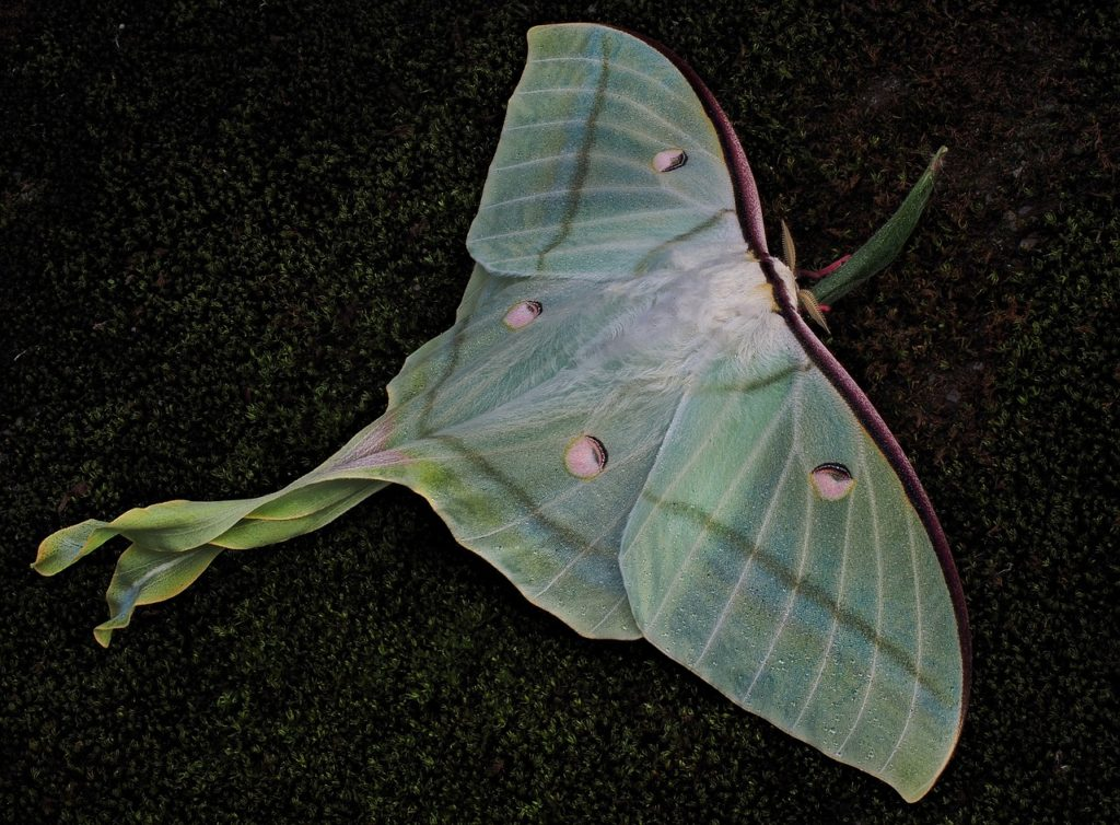 Luna Moth Meaning