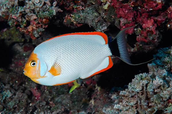 Male Masked Angelfish