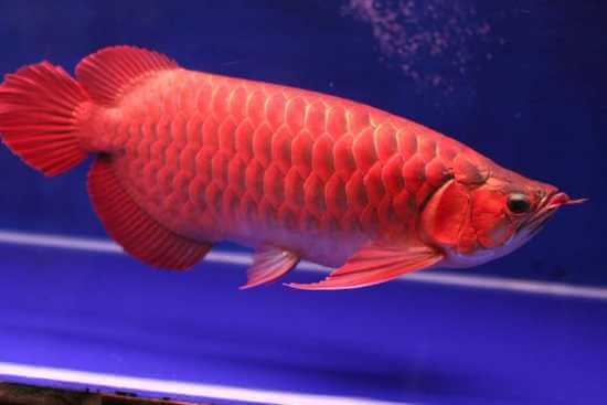 Red Asian Arowana Exotic Fish