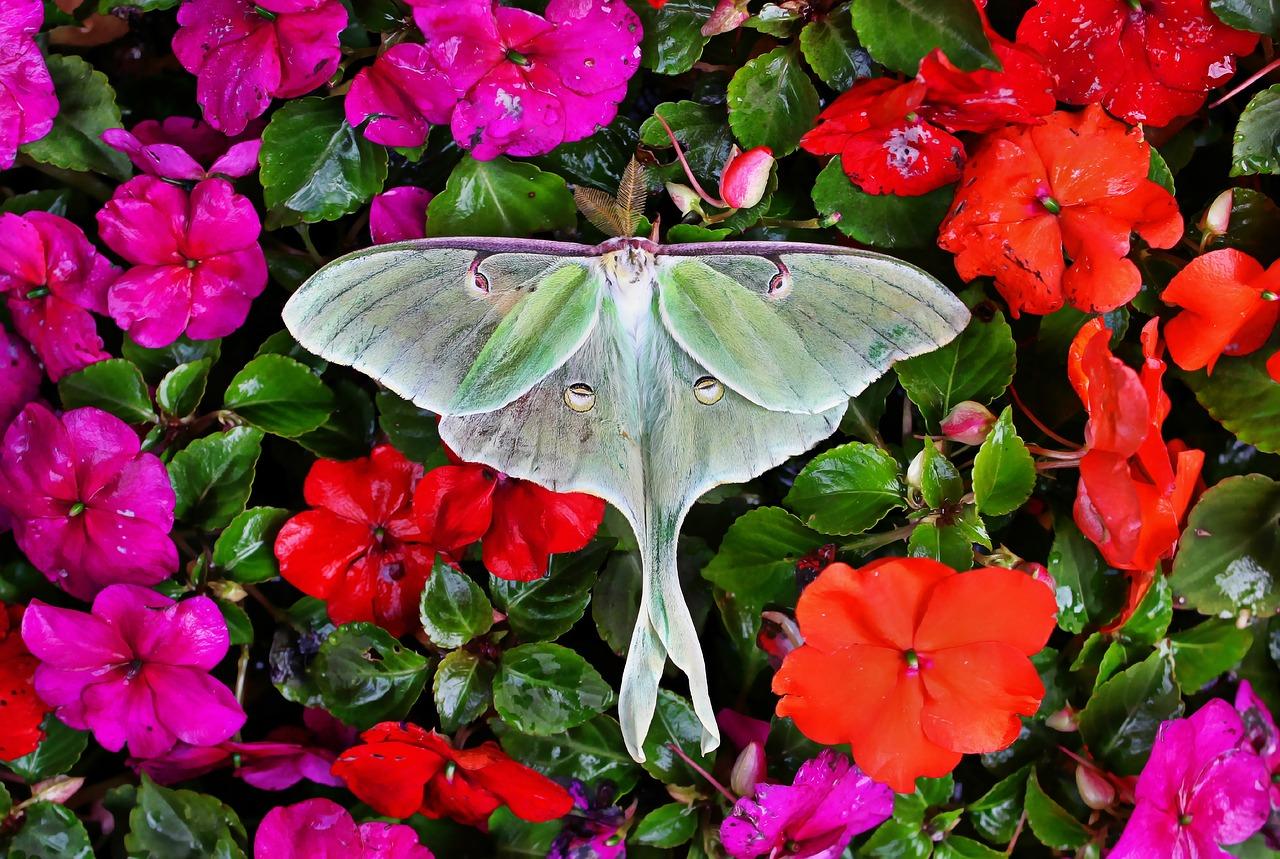 Spiritual Meaning Of Luna Moth