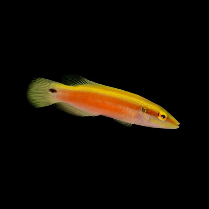 Sunrise Hogfish Exotic Fish