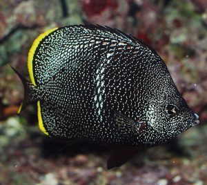 Wrought Iron Butterflyfish Exotic Fish
