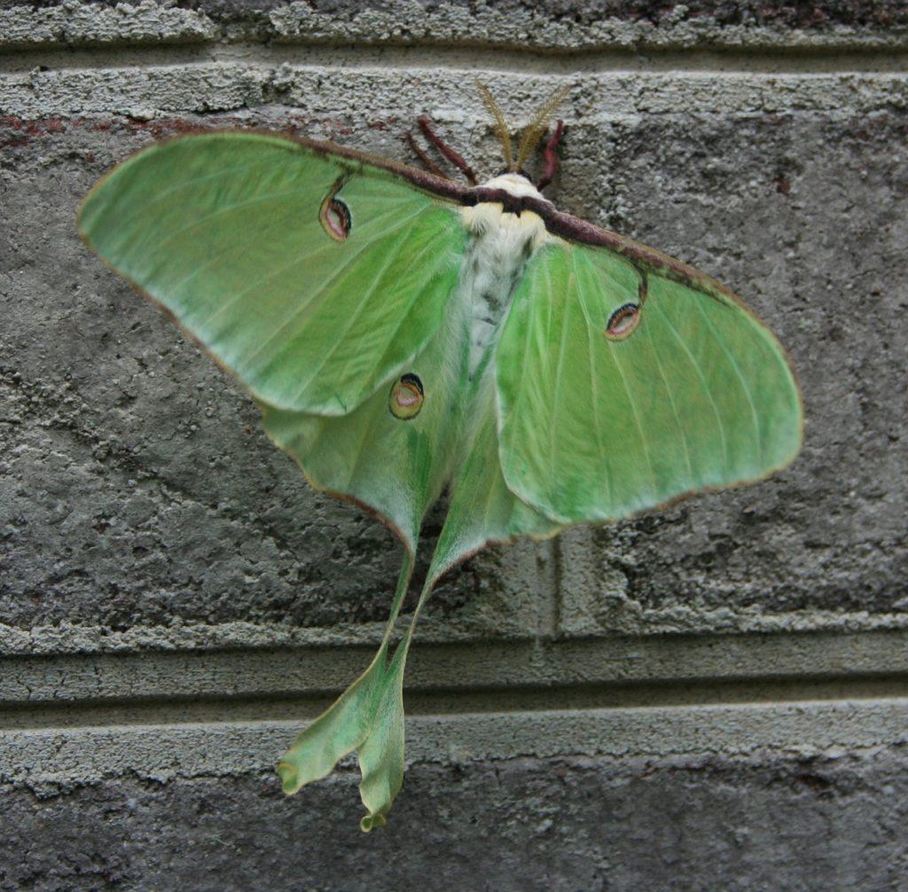 luna moth brings luck