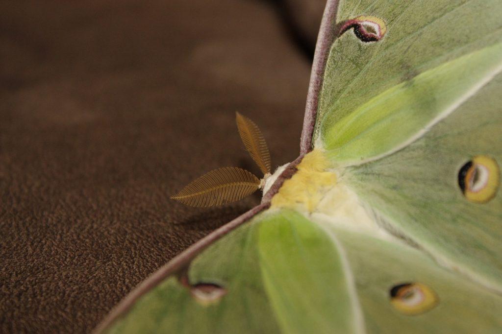 spiritual luna moth