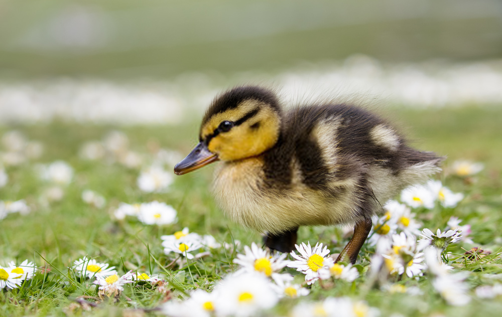 Adorable and Cute Duck Names