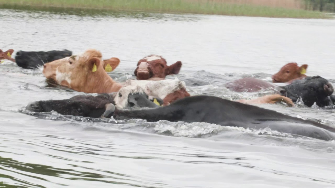 Can Cows Swim