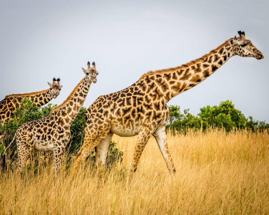 Cute and Funny Giraffe Names