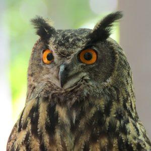Pet Owl Names