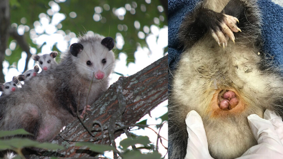 do possums have a pouch