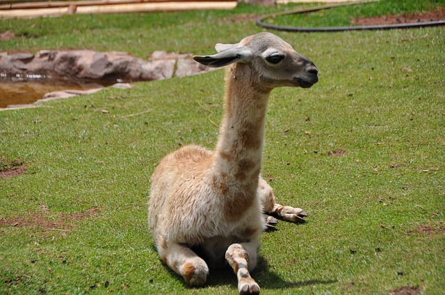 Baby llama picture