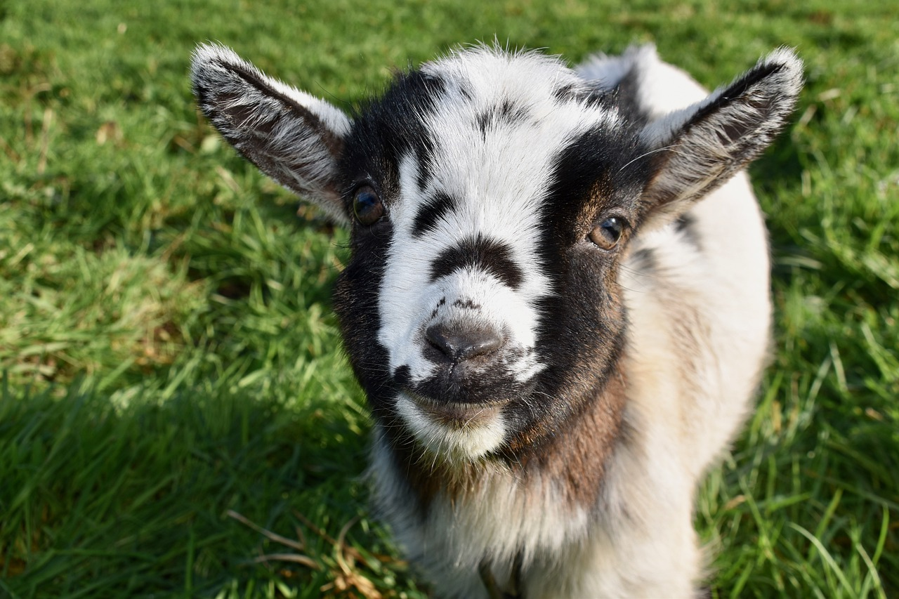 Cute and Funny Pet Goat Names