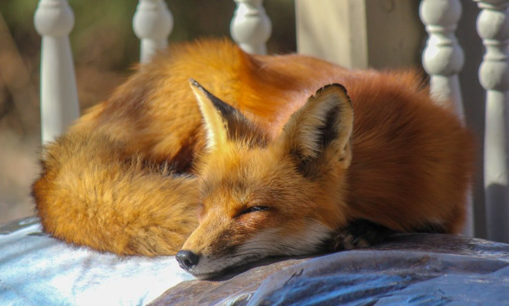 400 Cute And Funny Fox Names Animal Hype
