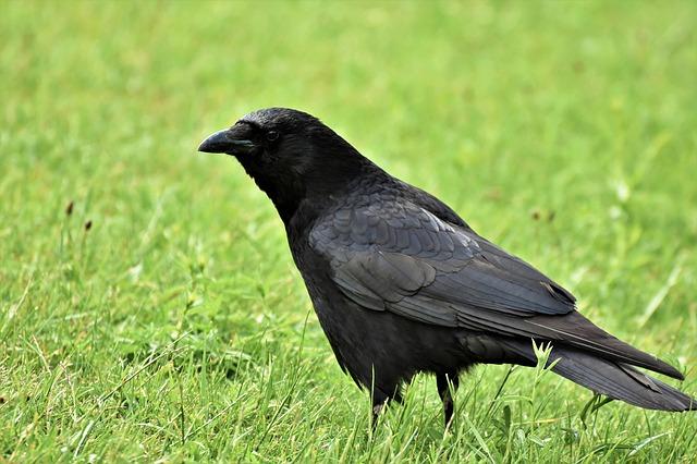 Pet Raven