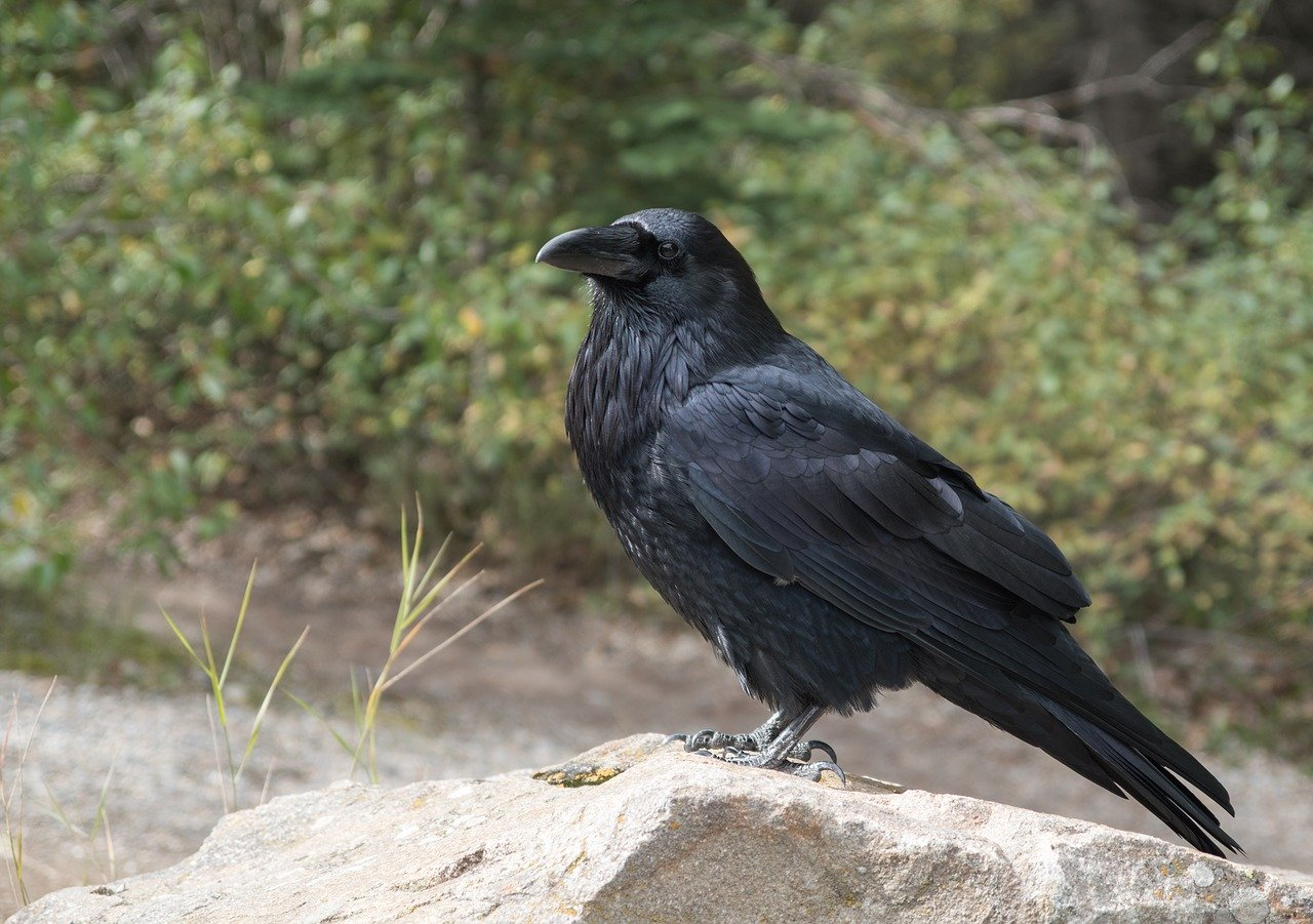 Ravens as Pets