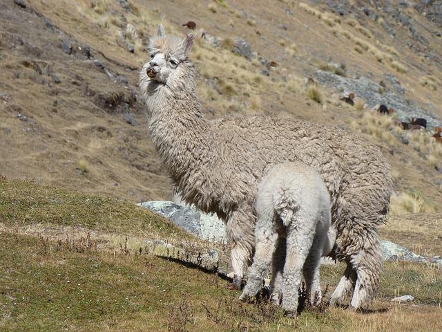 baby llama sucking milk