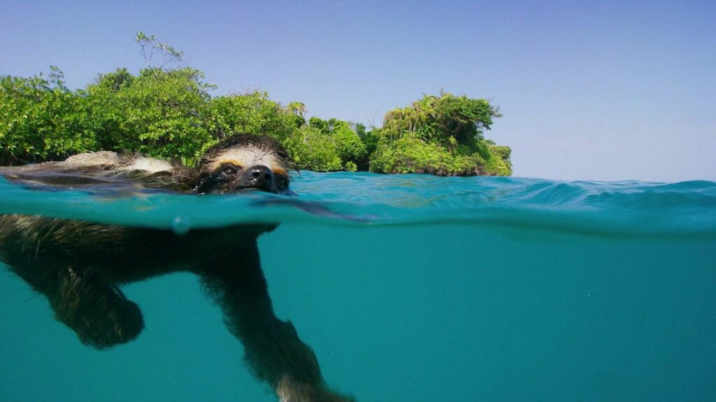 can sloths swim