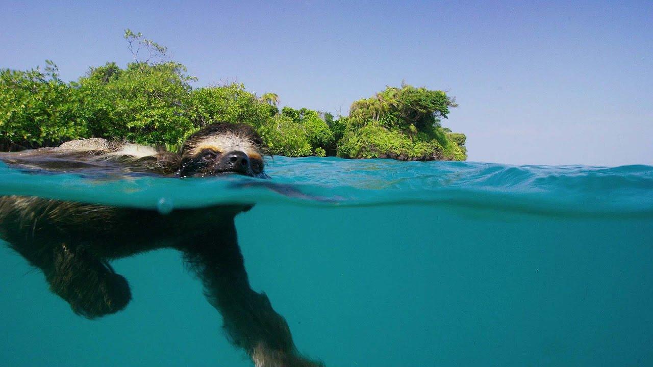 can sloths swim