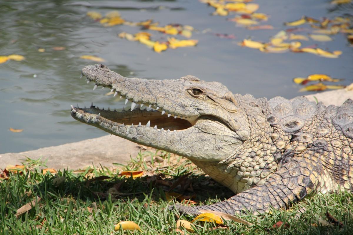 crocodile names