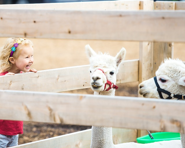 feeding baby llamas