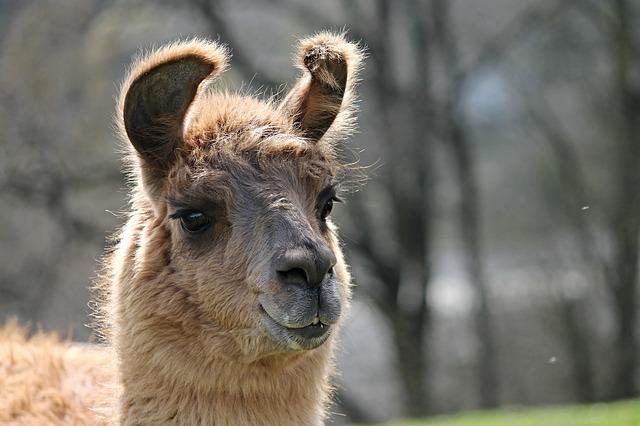 llama vs alpaca