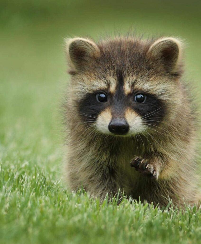 Abandoned Baby Raccoon