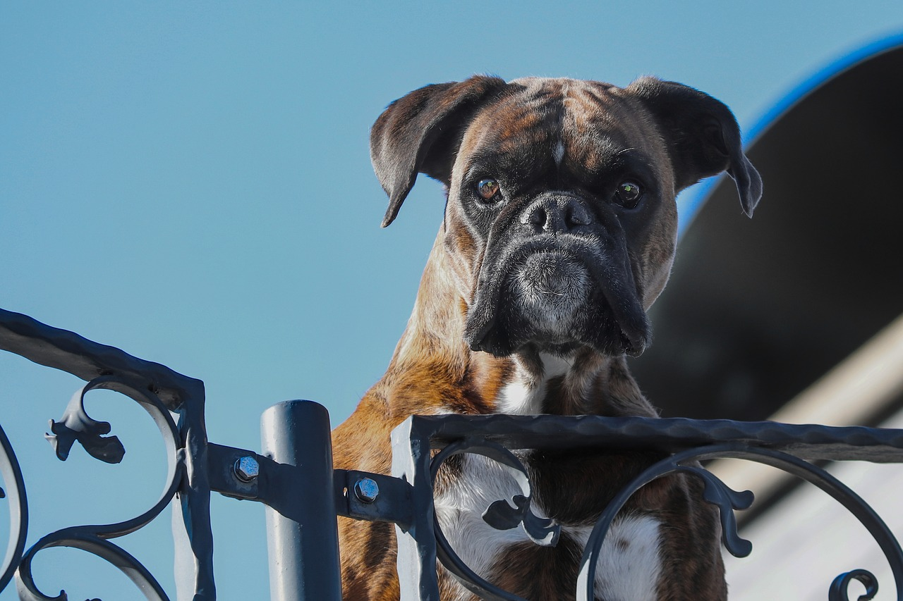 Are Boxers Good Guard Dogs